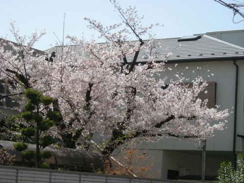 隣の桜11011003.JPG